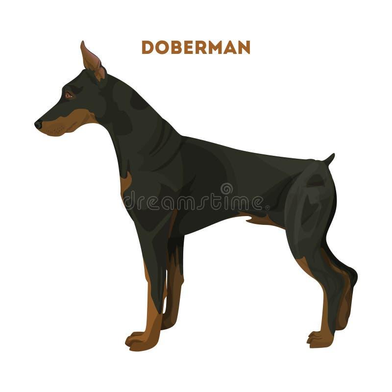 τρισδιάστατο doberman σκυλί ψαλιδίσματος πέρα από το μονοπάτι που δίνει το λευκό σκιών απεικόνιση αποθεμάτων