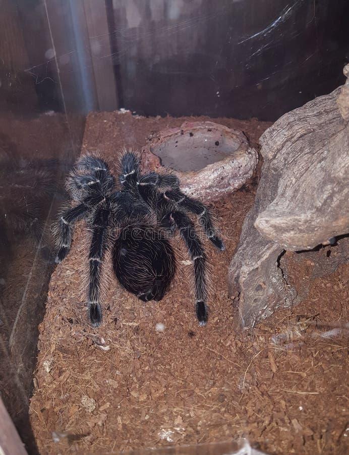 τριχωτή αράχνη στοκ φωτογραφία με δικαίωμα ελεύθερης χρήσης