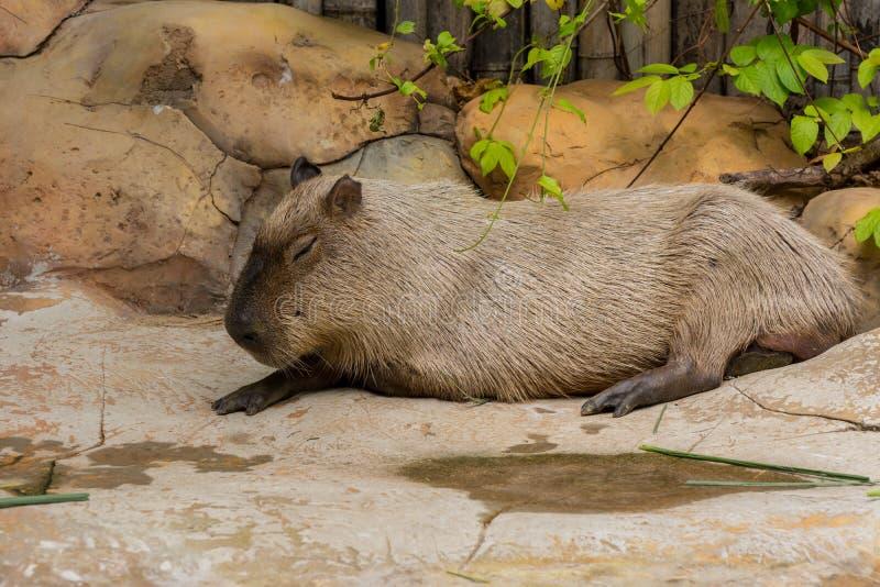 Τριχωτός γκρίζος ύπνος Capybara στο ζωολογικό κήπο στοκ φωτογραφίες