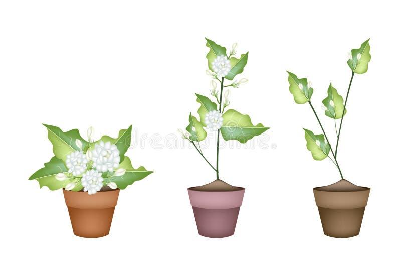 Τριών Jasmine λουλούδι στο κεραμικό δοχείο λουλουδιών απεικόνιση αποθεμάτων