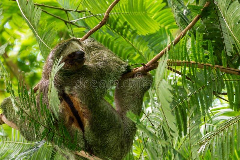 Τριών Toed νωθρότητα Bradypus Variegatus, ληφθε'ν Λα Fortuna, Κόστα Ρίκα στοκ εικόνες