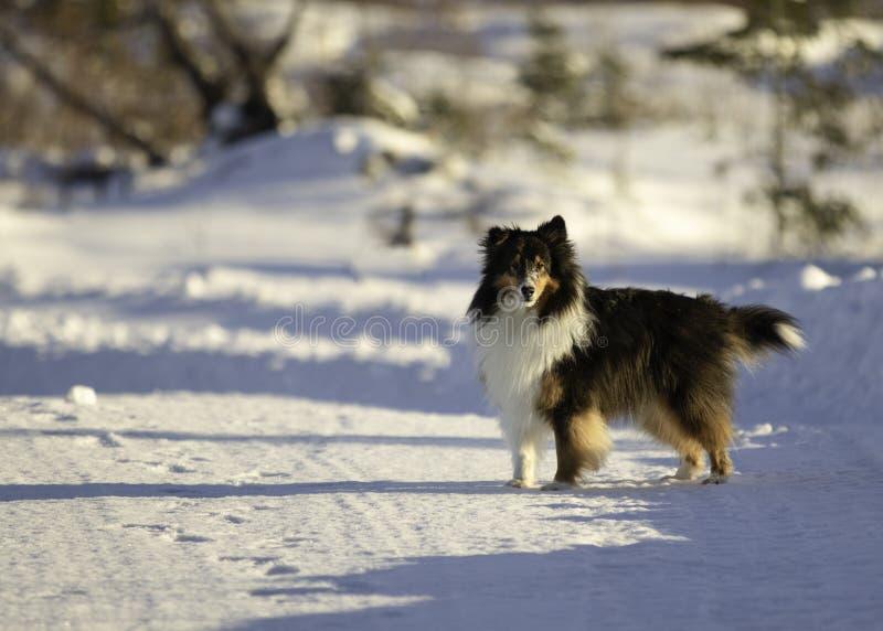 Τρι χρωματισμένο τσοπανόσκυλο Shetland στο χιόνι το χειμώνα στοκ φωτογραφία με δικαίωμα ελεύθερης χρήσης