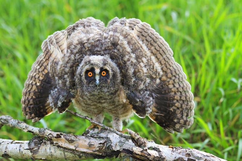 Τρομακτική μακρύς-έχουσα νώτα κουκουβάγια, φτερά otus Asio ανοικτά στοκ φωτογραφία με δικαίωμα ελεύθερης χρήσης