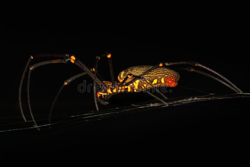 Τρομακτική μαύρη και κίτρινη αράχνη με τα μακριά πόδια στενή μακροεντολή μυγών λουλουδιών που στηρίζεται επάνω στοκ φωτογραφία