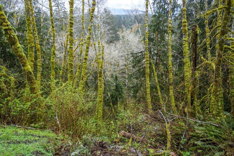 Τρομερή βλάστηση με τα mossy δέντρα στο τροπικό δάσος Ουάσιγκτον - ΔΙΚΡΑΝΑ Hoh - ΟΥΑΣΙΓΚΤΟΝ στοκ εικόνες με δικαίωμα ελεύθερης χρήσης
