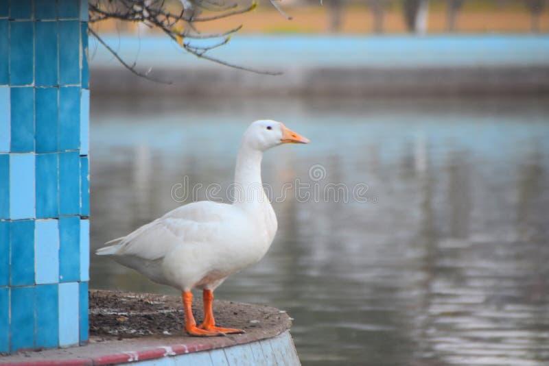 Τρομερός εραστής λιμνών εραστών παπιών άποψης στοκ φωτογραφία με δικαίωμα ελεύθερης χρήσης
