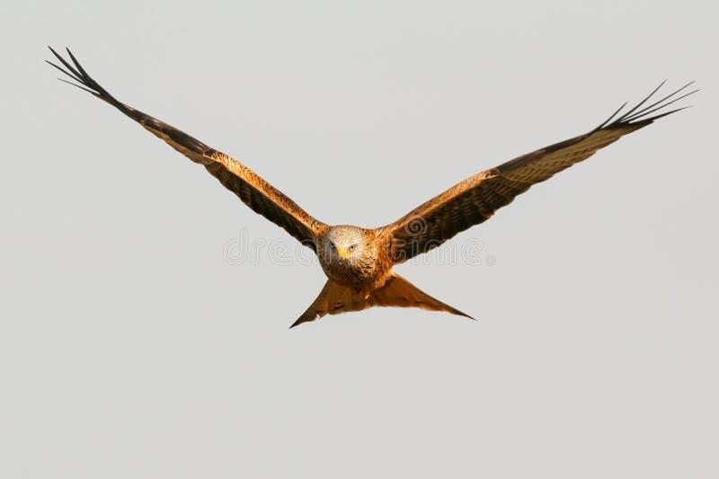 Τρομερό πουλί του θηράματος κατά την πτήση στοκ εικόνα με δικαίωμα ελεύθερης χρήσης