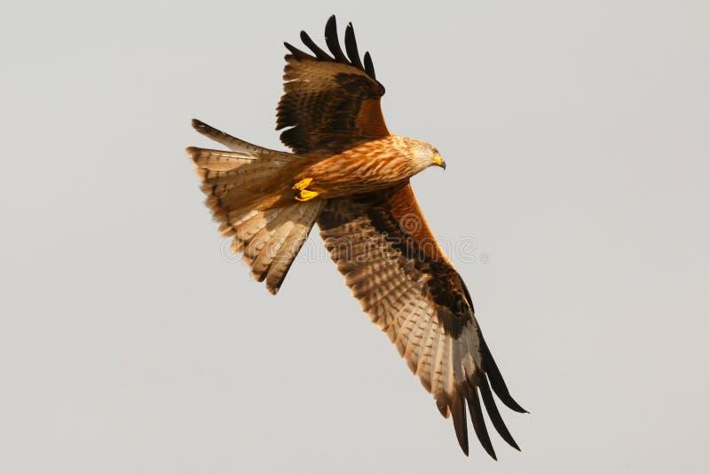 Τρομερό πουλί του θηράματος κατά την πτήση στοκ φωτογραφίες