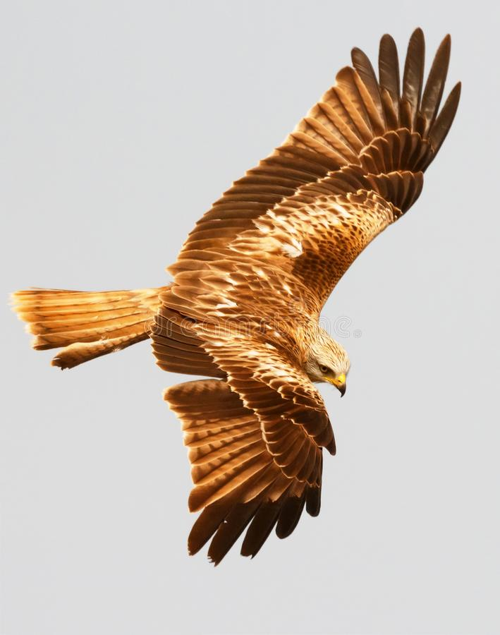 Τρομερό πουλί του θηράματος κατά την πτήση στοκ φωτογραφία με δικαίωμα ελεύθερης χρήσης