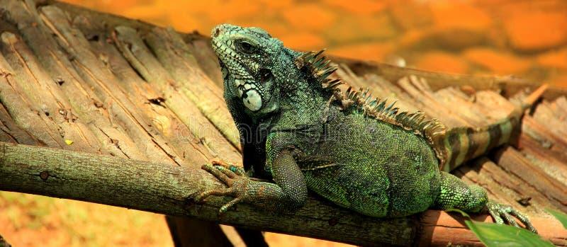 Τρομερό πράσινο iguana στο δέντρο στοκ φωτογραφία