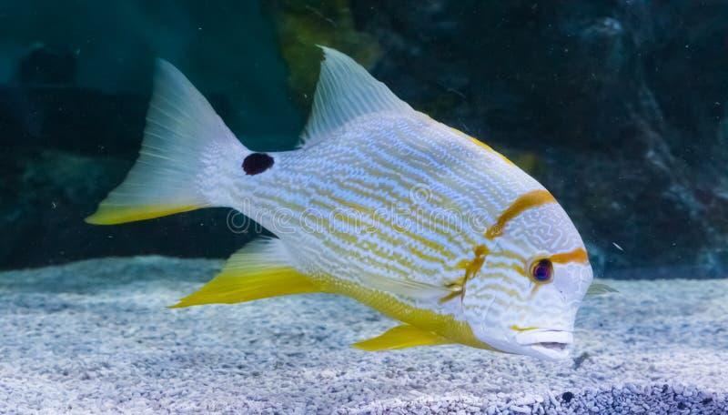 Τροπικά άσπρα κίτρινα ριγωτά ψάρια με ένα μαύρο δονούμενο ζωηρόχρωμο μεγάλο ψάρι σημείων στοκ εικόνες με δικαίωμα ελεύθερης χρήσης