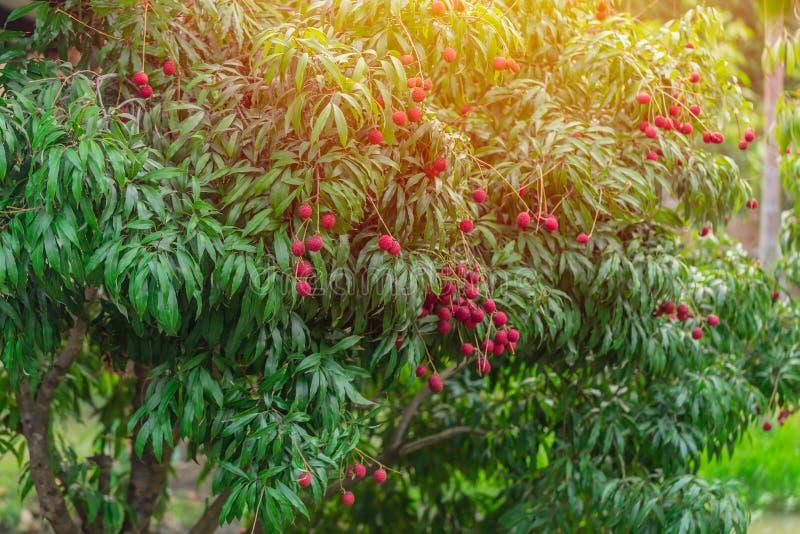 Τροπικά γλυκά φρούτα δέντρων Lychee στοκ εικόνα