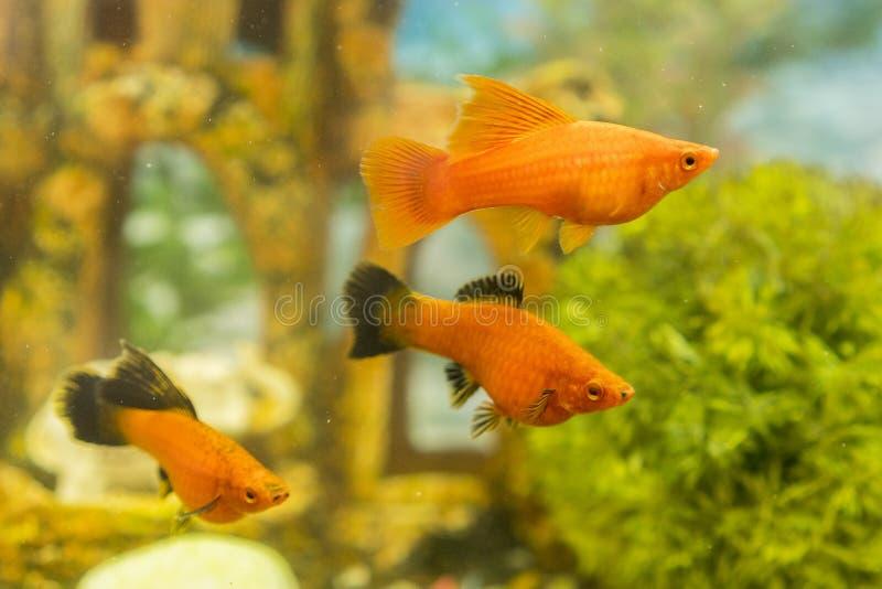Τροπικά ζωηρόχρωμα ψάρια που κολυμπούν στο ενυδρείο με τις εγκαταστάσεις ψάρια στο του γλυκού νερού ενυδρείο με πράσινο όμορφο πο στοκ εικόνα
