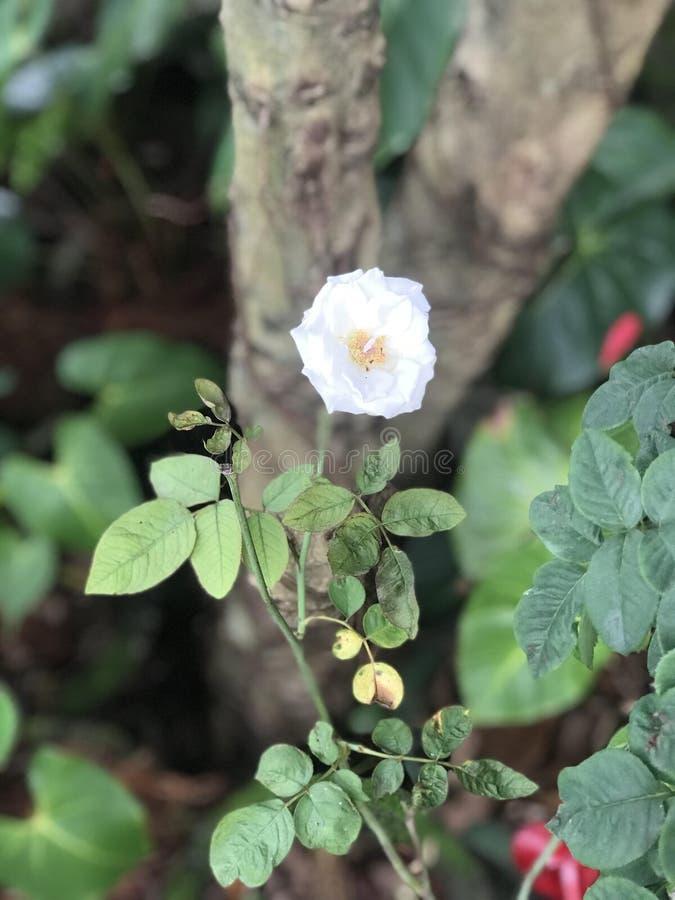Τροπικά λουλούδια στην άνθιση Σρι Λάνκα στοκ εικόνες