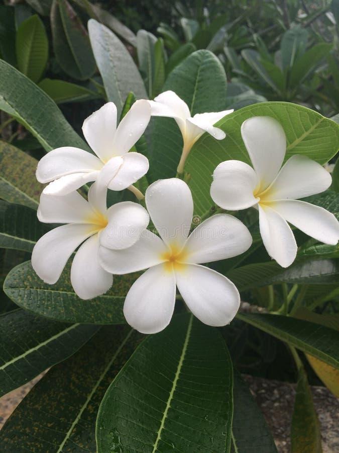 Τροπικά λουλούδια στην άνθιση, φύση της Σρι Λάνκα στοκ εικόνα