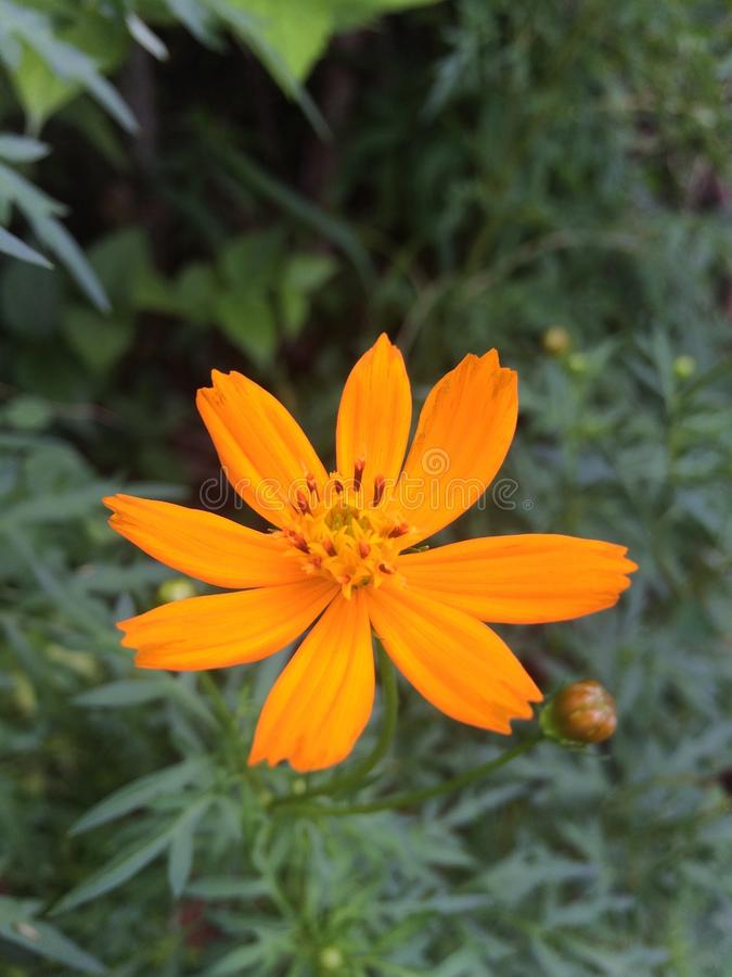 Τροπικά λουλούδια στην άνθιση, brauty της Σρι Λάνκα στοκ φωτογραφία