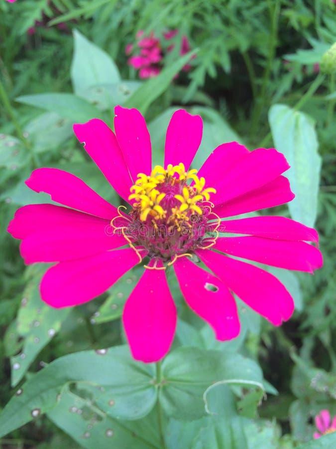 Τροπικά λουλούδια στην άνθιση, brauty της Σρι Λάνκα στοκ φωτογραφίες