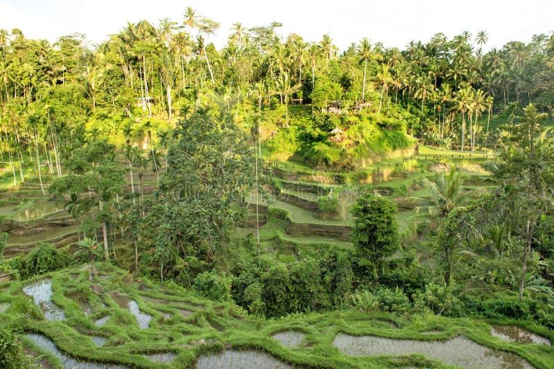 Τροπικά πράσινα fileds φοινίκων πεζουλιών ρυζιού τοπίων στοκ φωτογραφίες με δικαίωμα ελεύθερης χρήσης
