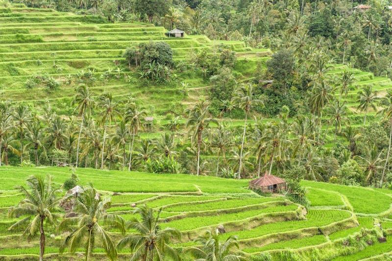 Τροπικά τοπίων πεζούλια ρυζιού φοινίκων πράσινα αρχειοθετημένα στοκ εικόνες με δικαίωμα ελεύθερης χρήσης