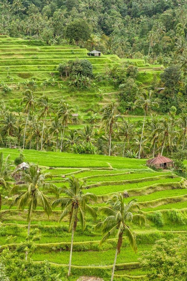 Τροπικά τοπίων πεζούλια ρυζιού fileds φοινίκων πράσινα στοκ εικόνα