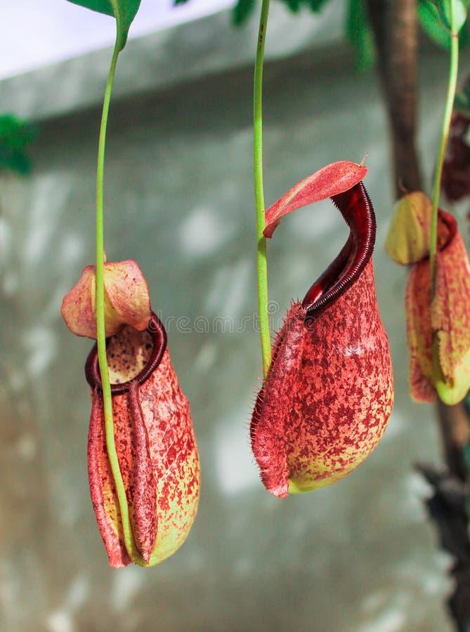 Τροπικά φυτά σταμνών στοκ φωτογραφία