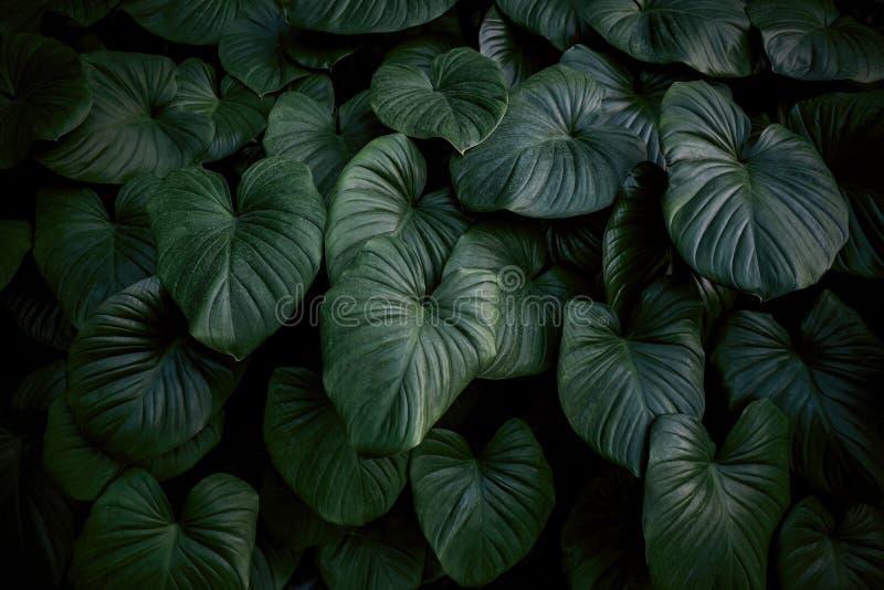 Τροπικά φύλλα φόντο του βασιλιά της καρδιάς στον κήπο στοκ εικόνα