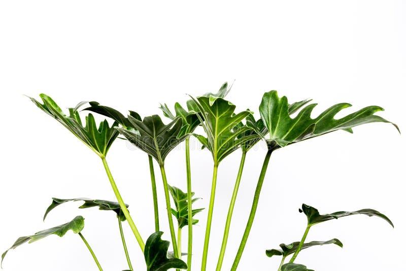 Τροπικά φύλλα Monstera ζουγκλών, ελβετικό φυτό τυριών, που απομονώνεται στο άσπρο υπόβαθρο στοκ φωτογραφίες