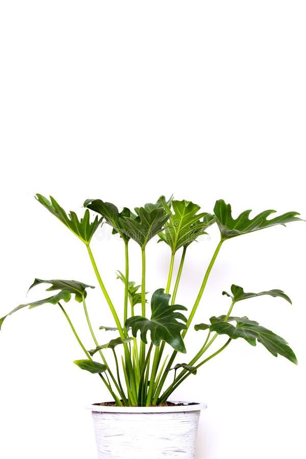 Τροπικά φύλλα Monstera ζουγκλών που απομονώνονται, ελβετικό φυτό τυριών, που απομονώνεται στο άσπρο υπόβαθρο στοκ φωτογραφίες με δικαίωμα ελεύθερης χρήσης