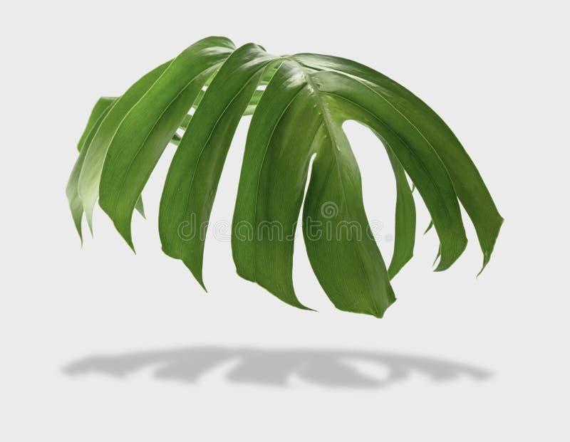 Τροπικά φύλλα monstera ζουγκλών που απομονώνονται στο γκρίζο υπόβαθρο με στοκ εικόνα