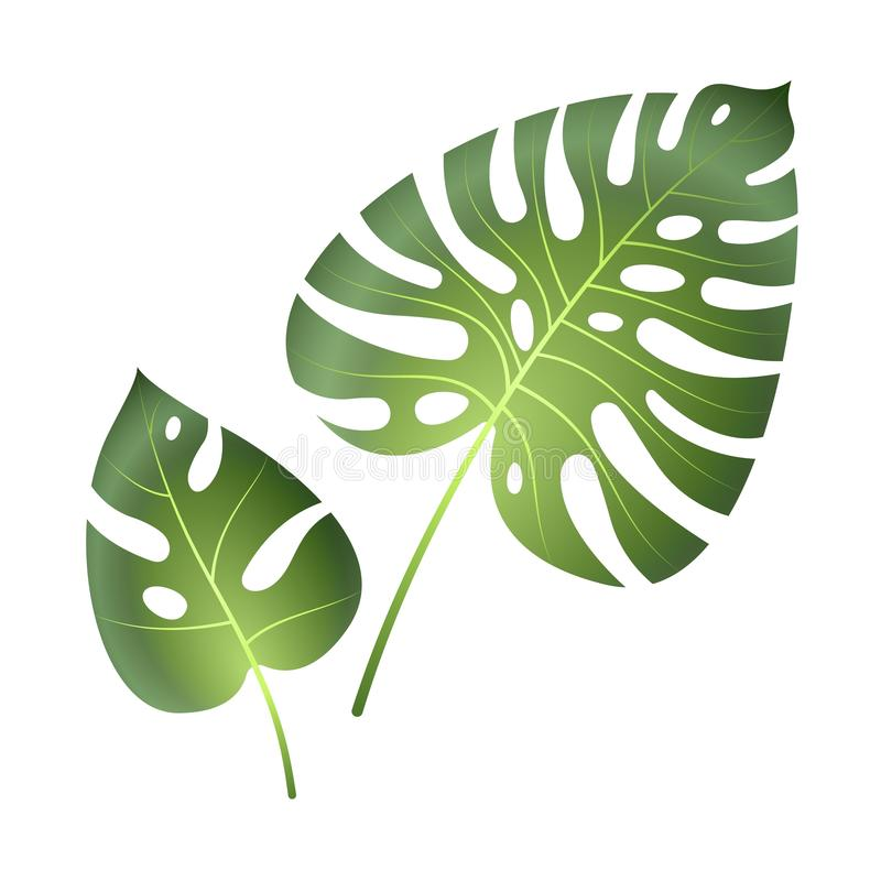Τροπικά φύλλα Monstera Ο φοίνικας ζουγκλών η εξωτική όμορφη μεγάλη πράσινη απομονωμένη διάνυσμα ζωγραφική φύλλων ελεύθερη απεικόνιση δικαιώματος