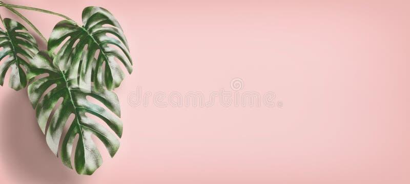 Τροπικά φύλλα Monstera στο ρόδινο υπόβαθρο κρητιδογραφιών, θερινό υπόβαθρο με το διάστημα αντιγράφων για το σχέδιο στοκ εικόνα με δικαίωμα ελεύθερης χρήσης