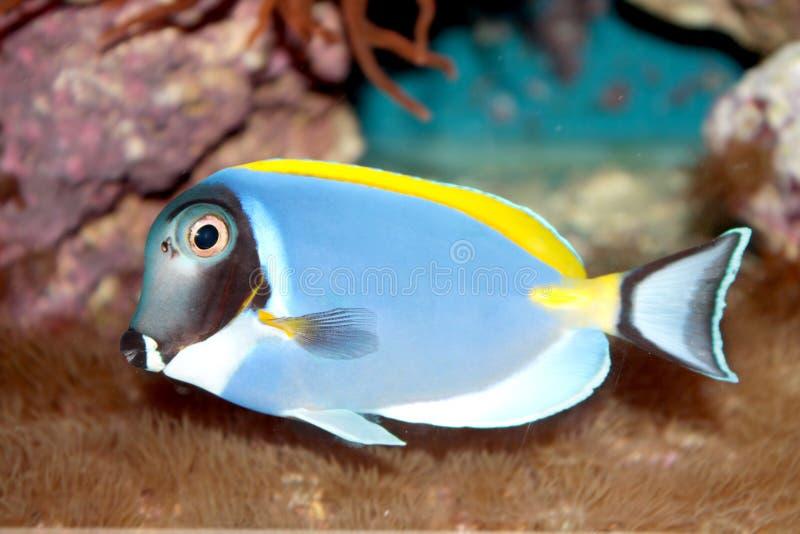 Τροπικά ψάρια του Tang σκονών μπλε (Acanthurus leucosternon) στοκ φωτογραφίες