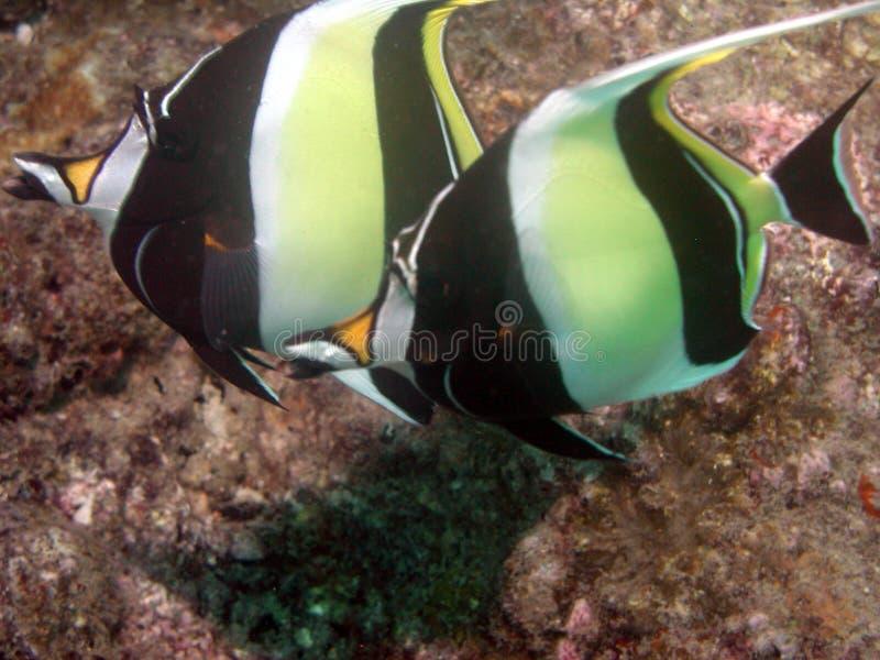 Τροπικά ψάρια στοκ εικόνες