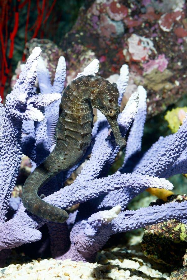Τροπικά ψάρια, seahorse στοκ φωτογραφία