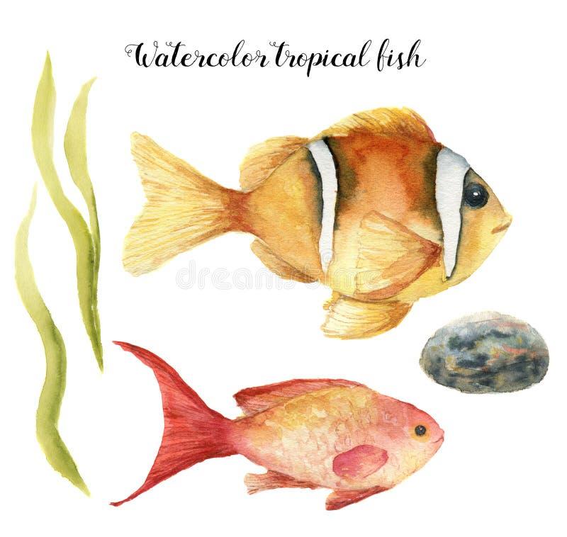 Τροπικά ψάρια Watercolor Το χέρι χρωμάτισε τη θάλασσα goldie και Clownfish, φύκι, πέτρα που απομονώθηκε στο άσπρο υπόβαθρο Υποβρύ ελεύθερη απεικόνιση δικαιώματος