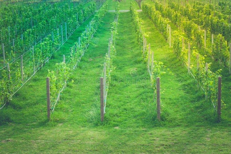 Τροπικές σειρές άποψης τοπίων του πράσινου αμπελώνα σταφυλιών στην επαρχία στοκ φωτογραφίες με δικαίωμα ελεύθερης χρήσης