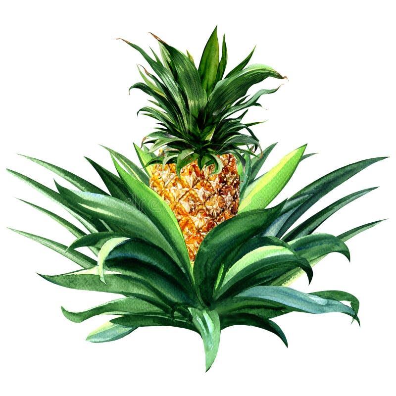 Τροπική ανάπτυξη φρούτων ανανά, απομονωμένη απεικόνιση watercolor διανυσματική απεικόνιση