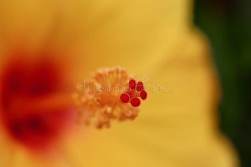 Τροπική κίτρινη hibiscus μακρο θαμπάδα υποβάθρου λουλουδιών στοκ εικόνα με δικαίωμα ελεύθερης χρήσης