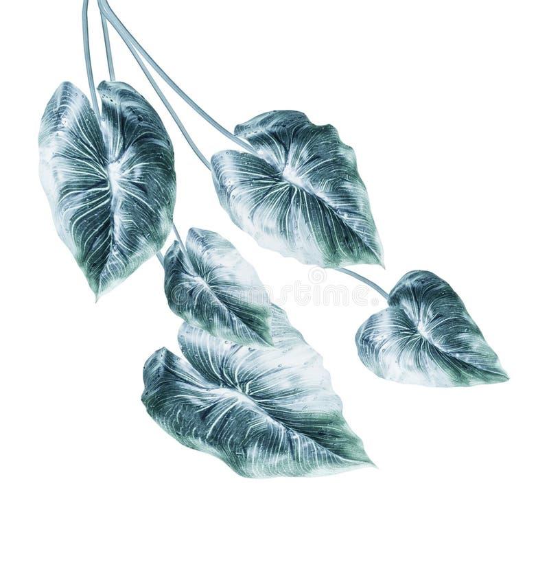Τροπική μπλε δέσμη φύλλων, που απομονώνεται στο άσπρο υπόβαθρο Κρεμώντας εξωτικά φύλλα φυτών στοκ εικόνα