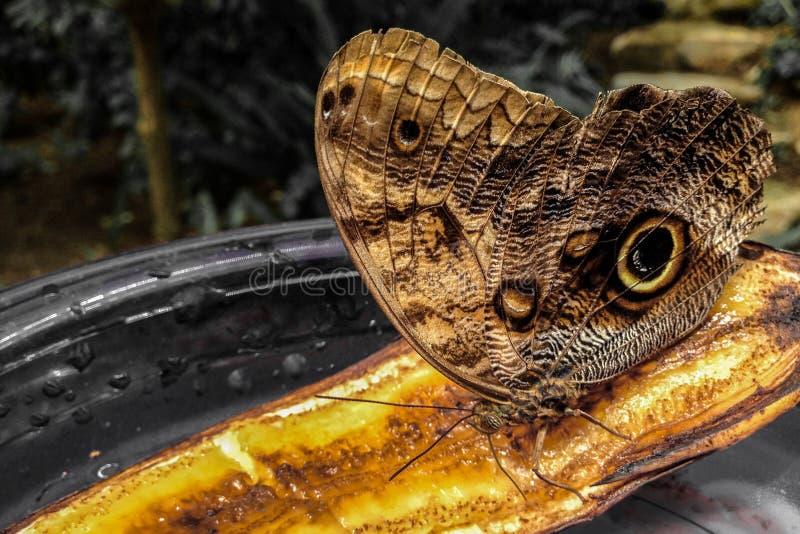 Τροπική πεταλούδα, που τρώει την μπανάνα στοκ εικόνες με δικαίωμα ελεύθερης χρήσης