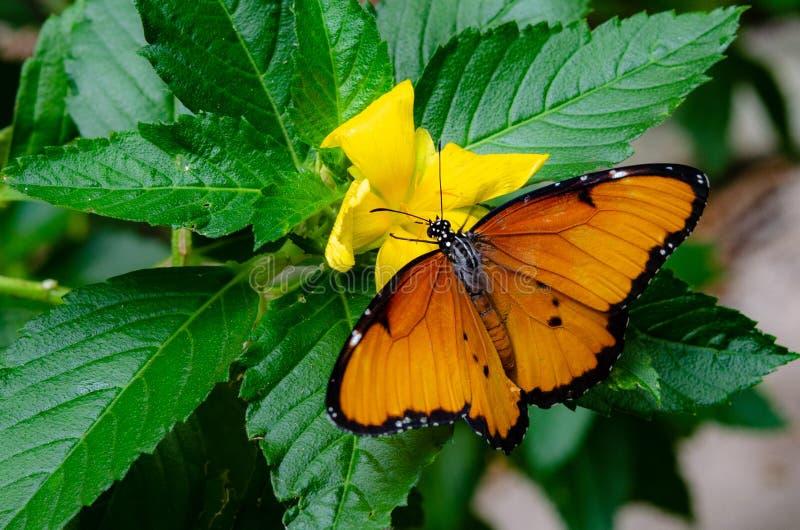 Τροπική πεταλούδα σε ένα κίτρινο λουλούδι στοκ εικόνα με δικαίωμα ελεύθερης χρήσης