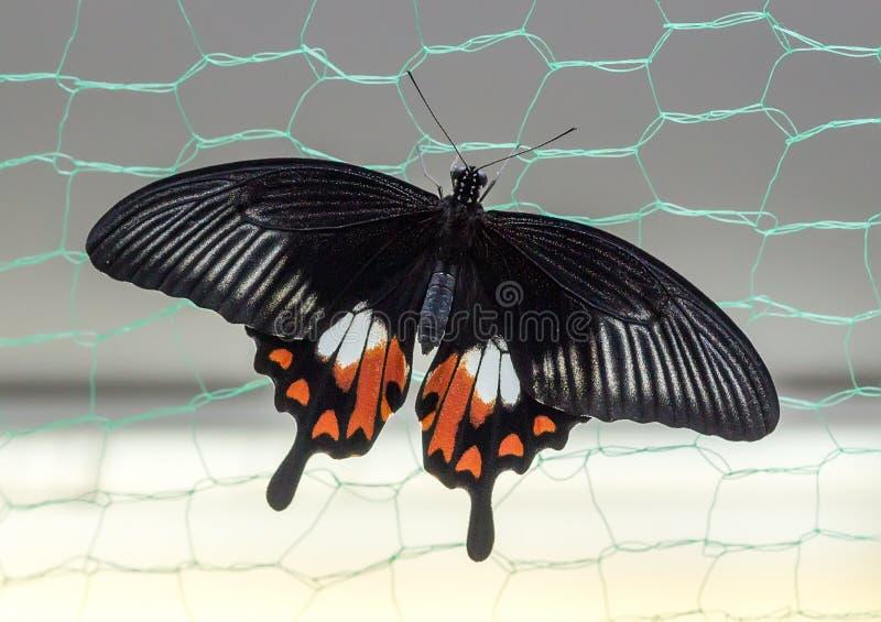 Τροπική πεταλούδα Papilio polytes στοκ φωτογραφία με δικαίωμα ελεύθερης χρήσης