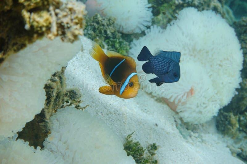 Τροπικός Ειρηνικός Ωκεανός πορτοκαλής-πτερυγίων ψαριών anemonefish στοκ εικόνα