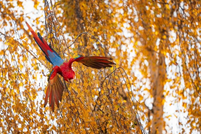 Τροπικός παπαγάλος που πετά από το δέντρο Λευκό μακάο με ανοιγμένα φτερά στοκ εικόνα με δικαίωμα ελεύθερης χρήσης