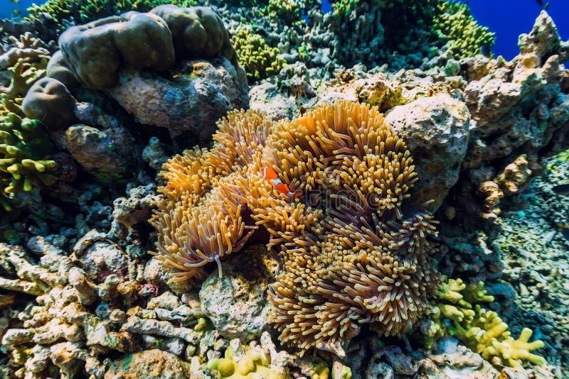 Τροπικός υποβρύχιος κόσμος με την κοραλλιογενή ύφαλο και τα ψάρια Κλόουν ψαριών στα anemones στοκ φωτογραφίες με δικαίωμα ελεύθερης χρήσης