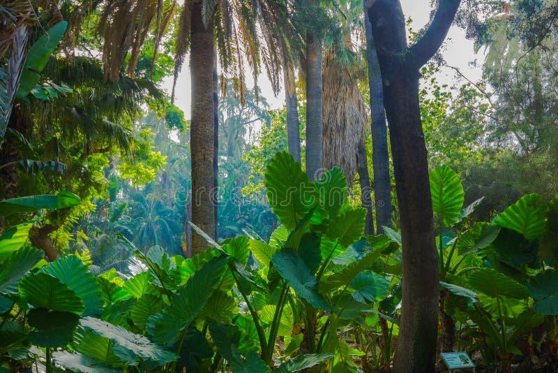 Τροπικό δάσος με τα μεγάλα φύλλα γιγαντιαίο Taro στοκ εικόνες με δικαίωμα ελεύθερης χρήσης