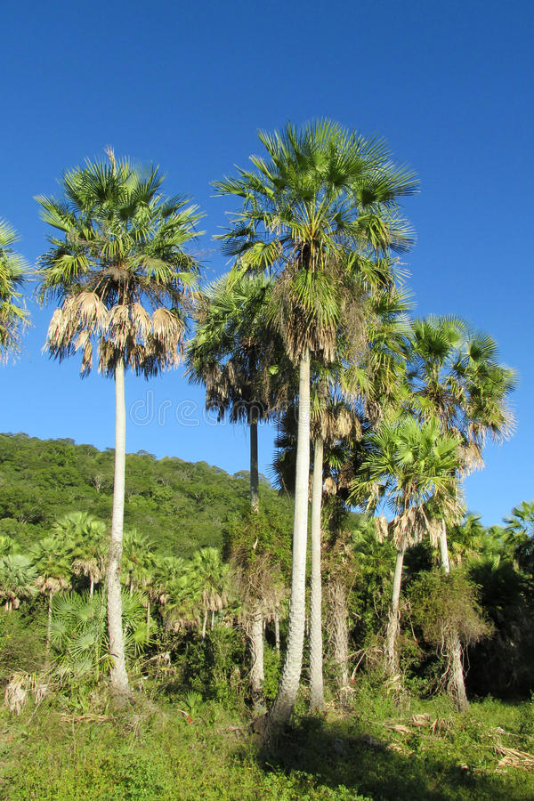 Τροπικό δάσος φοινίκων στοκ εικόνα