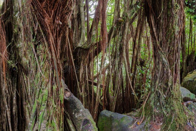 Τροπικό τροπικό δάσος, μεγάλο νησί, Χαβάη Δέντρα Banyan, βράχοι, άμπελοι και φύλλωμα στοκ εικόνα με δικαίωμα ελεύθερης χρήσης