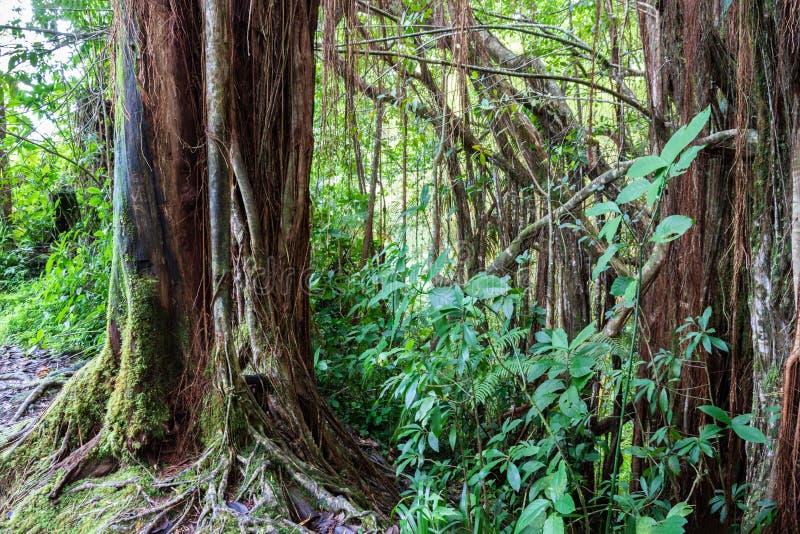 Τροπικό τροπικό δάσος, μεγάλο νησί, Χαβάη Δέντρα Banyan, βράχοι, άμπελοι και φύλλωμα στοκ φωτογραφίες με δικαίωμα ελεύθερης χρήσης