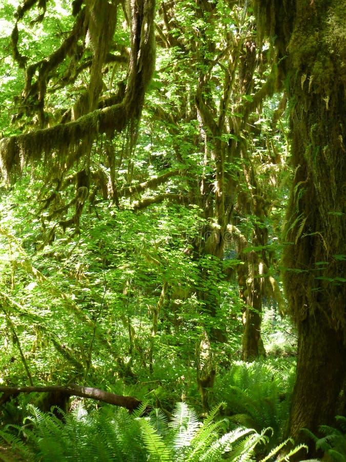 Τροπικό δάσος Hoh στοκ εικόνες με δικαίωμα ελεύθερης χρήσης